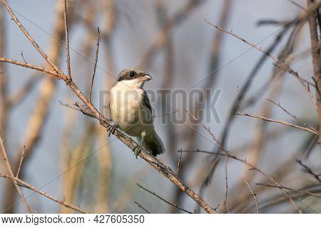 Lesser Grey Shrike, Juvenile Lanius Minor. In The Wild.
