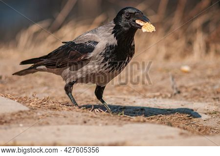 The Hooded Crow Corvus Cornix Is A Species Of Bird In The Genus Corvus. Grey Crow With A Cookie In H
