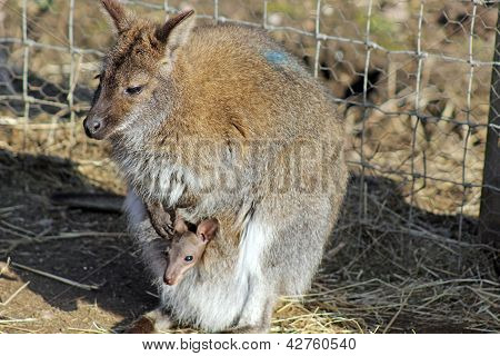 wallaby and baby