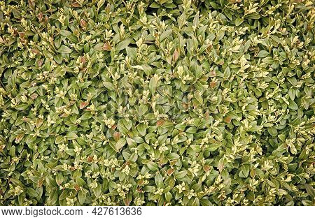 Green Leaves Wall Hedge As Background Of Fresh Boxwood. Bright Shiny Green Foliage Of Boxwood As Per