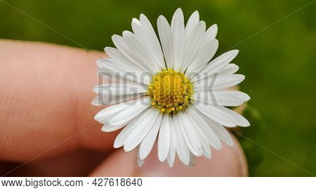 Men Hands Holding A Beautiful Daisy On Lawn Background