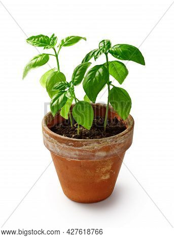Fresh Basil Herb In Terracotta Flowerpot Isolated On White Background. Basil In Vintage Pot.