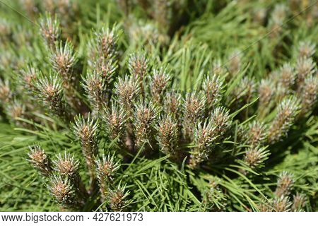 Dwarf Black Pine Marie Bregeon - Latin Name - Pinus Nigraa Marie Bregeon