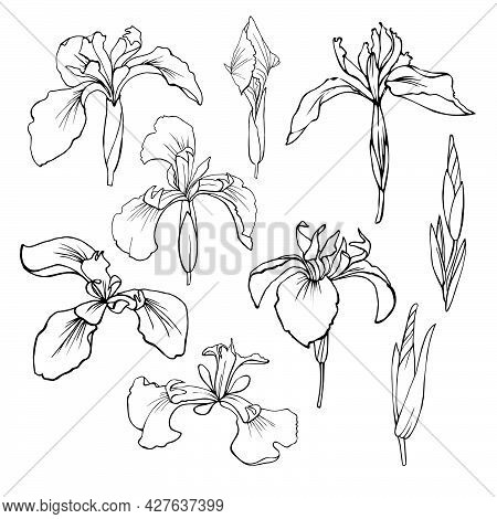 Set Of Vector Images. Contour Drawing Of Irises.