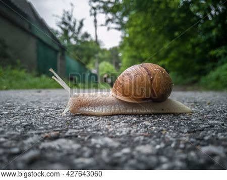 Close-up Of A Snail On An Asphalt Road. Close-up Of A Helix Pomatia.