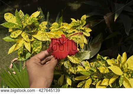 Female Holding Hibiscus Flower Or Rosa Sinensis Also Known As Shoe Floers In Bright Red Color. Dark