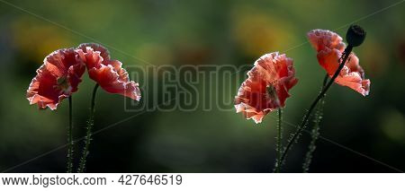 Poppy Lawn Panorama.picturesque May Contrasts.in The Garden Bloom Poppies.a Delicate Flower.openwork