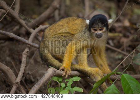 Side On Closeup Portrait Of Golden Squirrel Monkey (saimiri Sciureus) Sitting On Branch And Looking