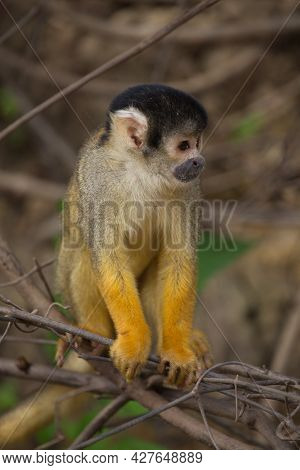 Head On Closeup Portrait Of Golden Squirrel Monkey (saimiri Sciureus) Sitting On Branch Pampas Del Y