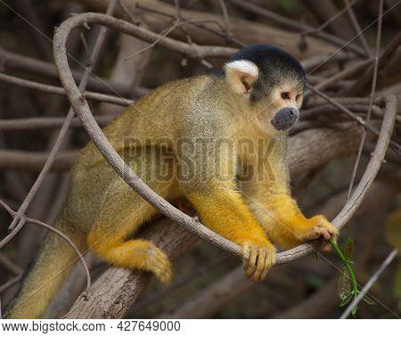 Side On Closeup Portrait Of Golden Squirrel Monkey (saimiri Sciureus) Sitting On Branch Pampas Del Y