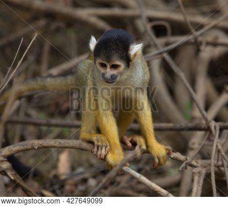 Head On Closeup Portrait Of Golden Squirrel Monkey (saimiri Sciureus) Sitting On Branch Looking At G
