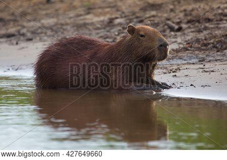 Side On Portrait Of Capybara (hydrochoerus Hydrochaeris) Sitting On Riverbank Submerged In Water, Pa