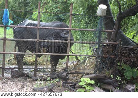 Buffalo On The Roadside Cattle Shed Grazing On The Grass Grow After Monsoon