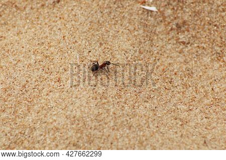 Ant On The Sandy Beach. The Animal World Is An Ant. Close-up - An Ant On A Sandy Shore.