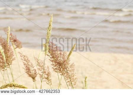 The Landscape Is Beautiful Grass On The Sea Beach. Gold Beach Grass On A Pastel Beach Background - I
