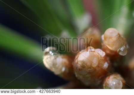 Young Inflorescence On A Pine Branch. Inflorescence On Pine Branches. Blooming Pine Tree.