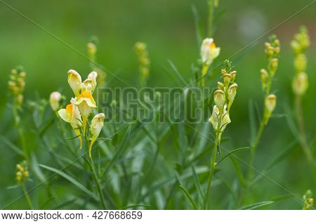 Yellow Snapdragon Flowers Grow On A Green Meadow, Close Up Photo With Selective Soft Focus