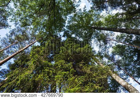 Evergreen Pines Stretching Into The Sky, Forest, Needles, Straight High Trunks Of Pines In The Summe