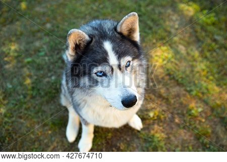 Husky Dog Sits And Looks At The Owner, Executes The Sit Command. Training A Pet On The Grass, Close-