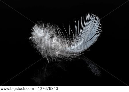 Lightweight White Feather On The Black Glossy Background With Reflection.