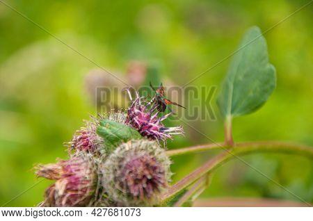 Blooming medicinal plant burdock. Arctium lappa commonly called greater burdock.