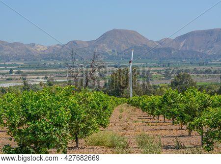 Lemon Tree Orchards In The Santa Clara River Valley, Fillmore, Ventura County, California