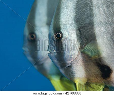 A pair of tallfin batfish