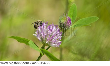 Bee On Clover Flower Collecting Pollen. Bright Delicate Pink Clover Flower, Honey Bee. Wild Wildflow