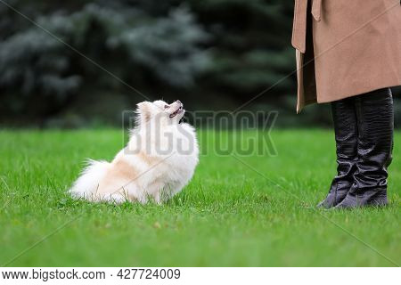 White Pomeranian Spitz Training Obedience With Owner Outdoors