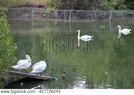 White Swan In The Foggy Lake At The Dawn. Beautiful Swan. Cygnus. Romance Of White Swan With Clear B