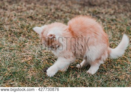 A Red Cat Caught A Mole, A Cat Playing With A Mole On The Grass, The Countryside And Animals And Rod