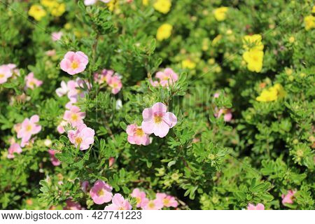 A Pink Shrubby Cinquefoil In The Garden