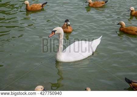 A Sibilant Swan (lat. Cygnus Olor) With A Beautiful White Neck Swimming In A Pond Among Ground Ducks