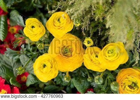 Ranunculus Asiaticus. Blooming Ranunculus. Yellow Flowers. Flowering Herbaceous Plants