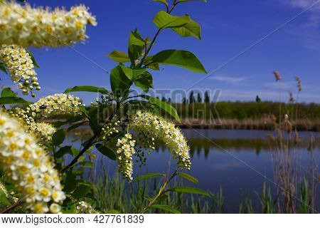 White Flowers Of Bird Cherry Ist On A Branch Of The Bush.