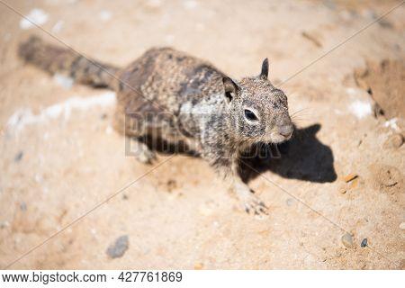 Ground Squirrel Outdoor. Gopher In Wildlife. Squirrel Rodent. Wild Fluffy Animal Closeup.