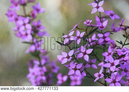 Australian Native Pink Wildflower Background Of Boronia Ledifolia, Family Rutaceae. Growing In Sydne