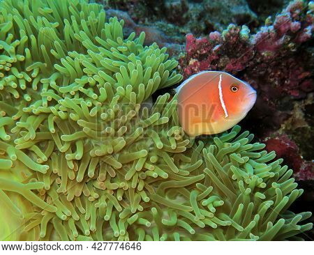 A Pink Skunk Clownfish Or Pink Anemonefish Boracay Island Philippines
