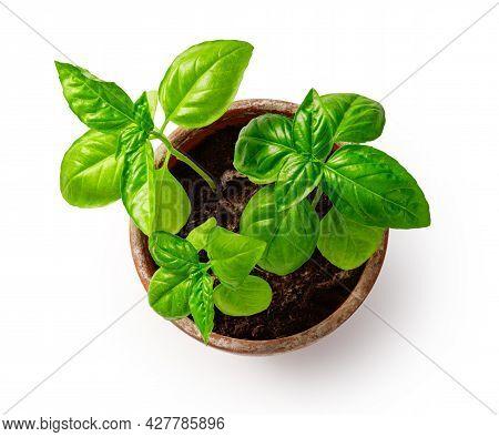 Fresh Basil Herb In Terracotta Flowerpot Isolated On White Background. Basil In Vintage Pot. Top Vie