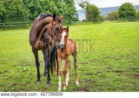 Mare Horse Caressing It S Newborn Foal In A Field In Ireland