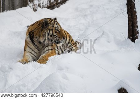 Amur Tiger Lies In The Snow In A Nature Park On A Winter Day. Protection Of Animal.