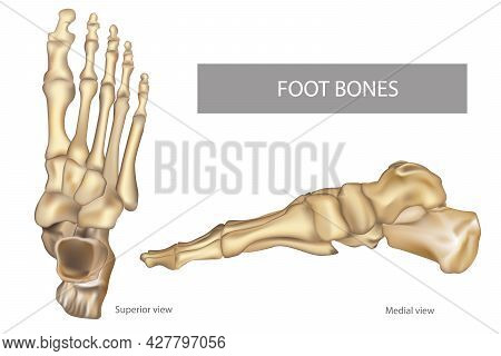 Anatomy Bones Of The Feet. Orthotics For Foot Superior View And Medial View. Diagram