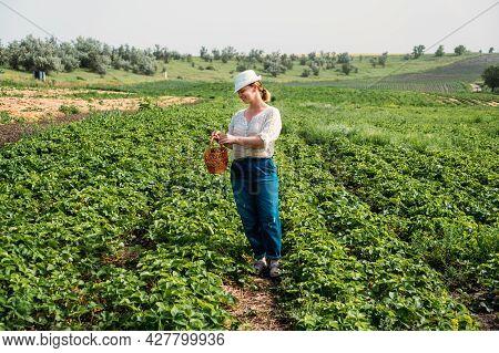 Picking Fruits On Strawberry Field, Harvesting On Strawberry Farm. Woman Farmer Holding Basket Full