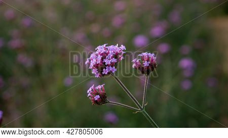 Field Of Purple Petite Petals Of Vervian Flower Blossom On Green Leaves, Know As Purpletop Vervian O