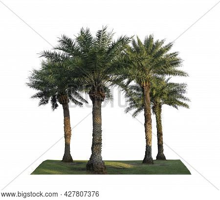 Group Of Phoenix Dates Palm Trees On Green Grass Lawn, Isolated On White Background, Pinate Silver L