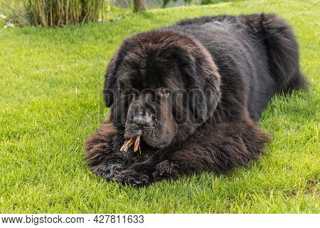 Newfoundland Dog Breed In An Outdoor. Big Dog On A Green Field Eats A Dried Snack. Dog With Bone Che
