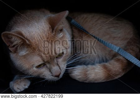 Beige Cat Lying In A Cat Carrier With A Collar Around His Neck. High Quality Photo
