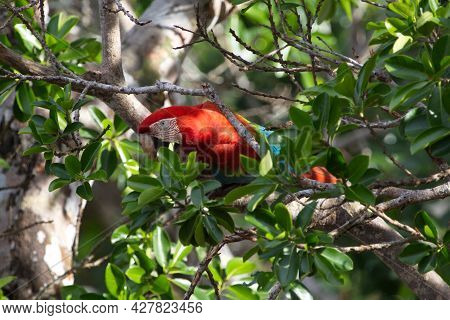 Closeup Of Colorful Scarlet Macaw (ara Macao) Camouflaged Between Branches In Wild Green Tree, Pampa