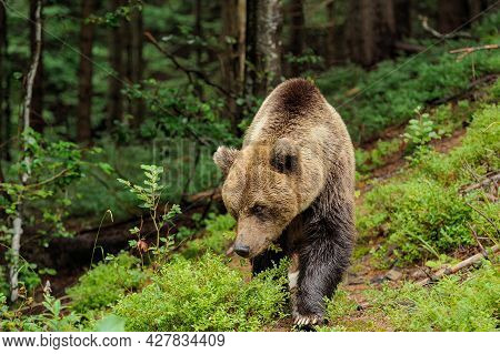 Wild  Brown Bear (ursus Arctos) In The Forest. Wild Animal .
