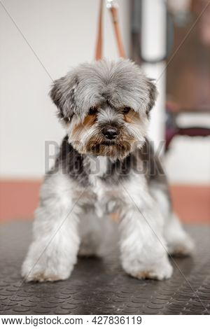 The Adorable Yorkshire Dog Is Waiting For Rhe Professional Groomer In The Pet Cosmetics.